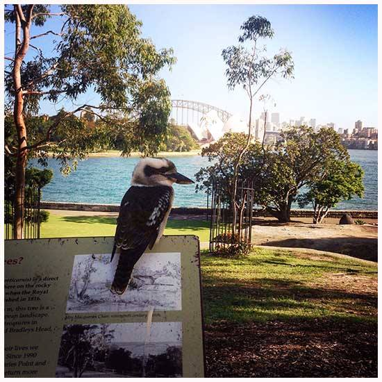 a kookaburra overlooking the Opera House | Life After Elizabeth