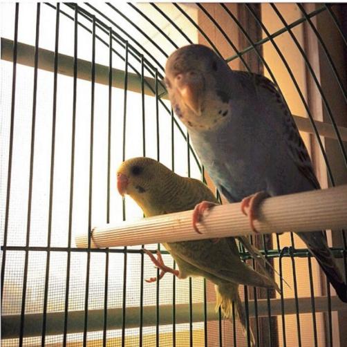 Merlin and Luna |my boring pet birds | Kimberly Hetherington | Art Therapy with Kimberly